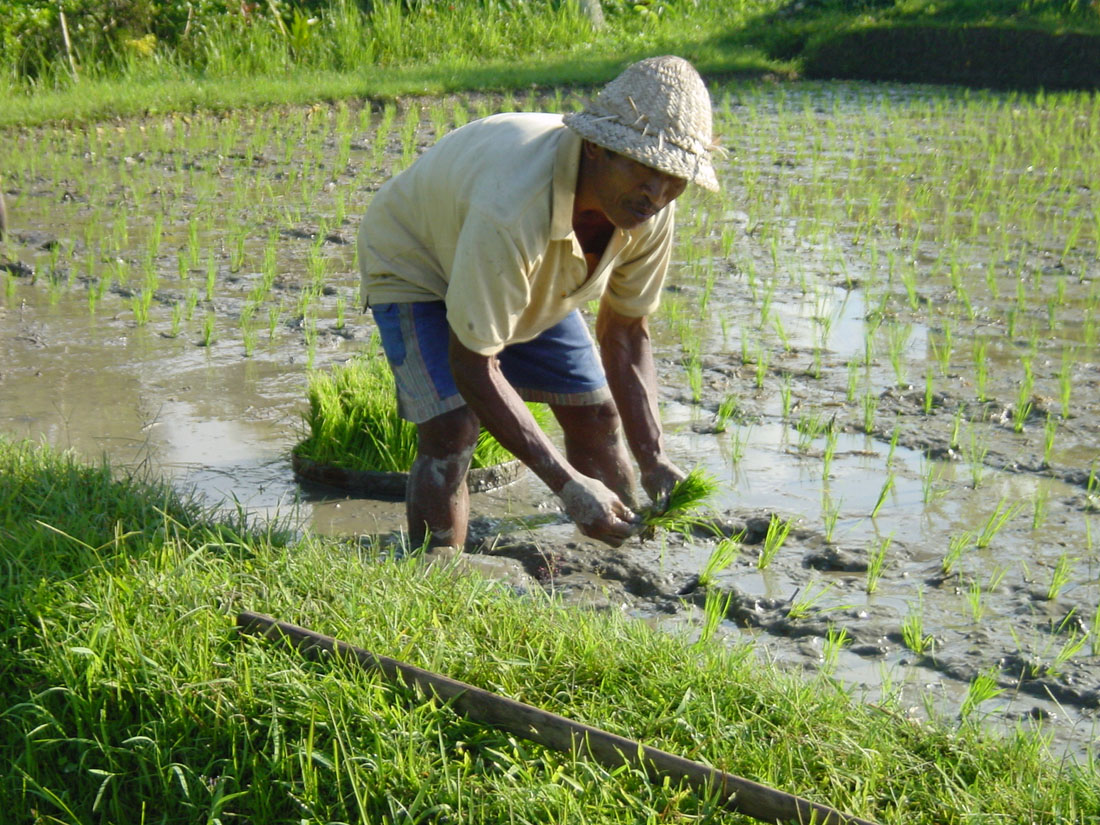 how to plant rice We pride ourselves in our dedication to quality in our rice learn all about our products and how we get that riceland-specific quality.
